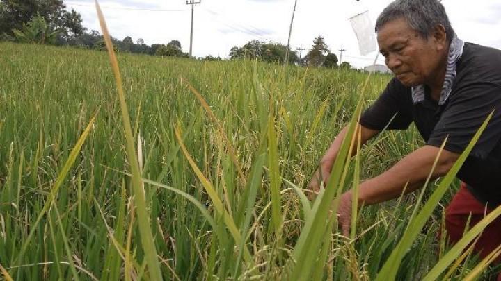 25 Hektare Sawah di Penajam Paser Utara Gagal Panen