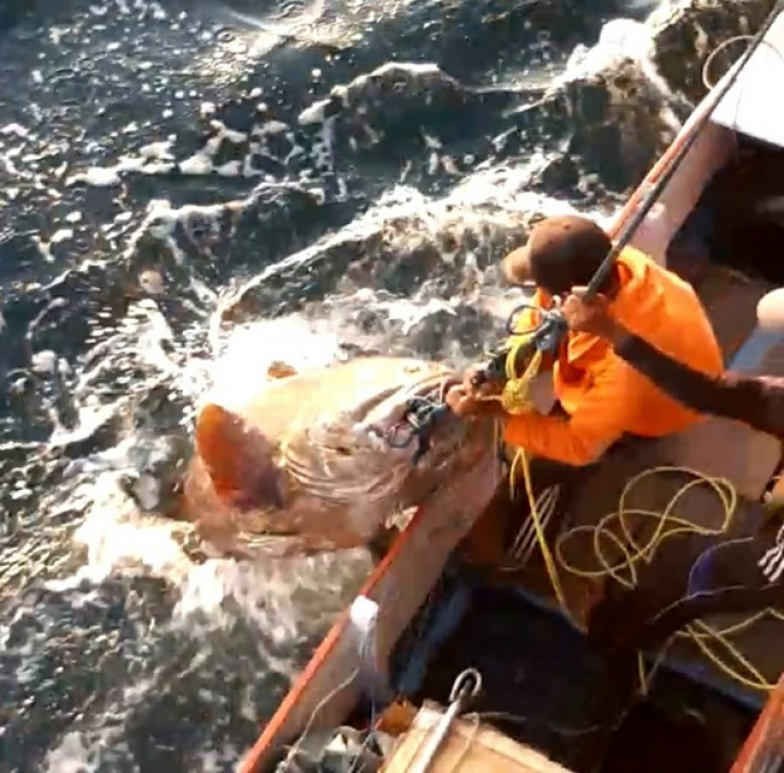 Viral ! Ikan Raksasa Ditangkap Nelayan Bontang, Begini Pengakuan Pemancingnya