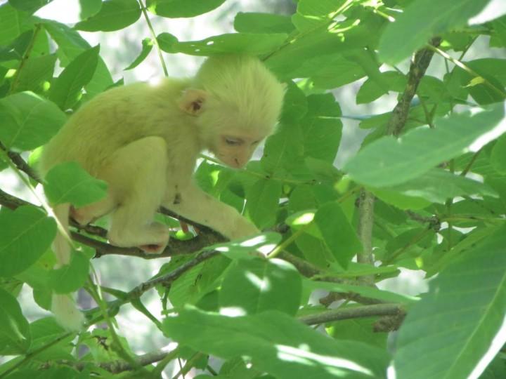 Monyet Albino Peliharaan Irfan Hakim Ternyata Dibleaching, Tuai Kecaman